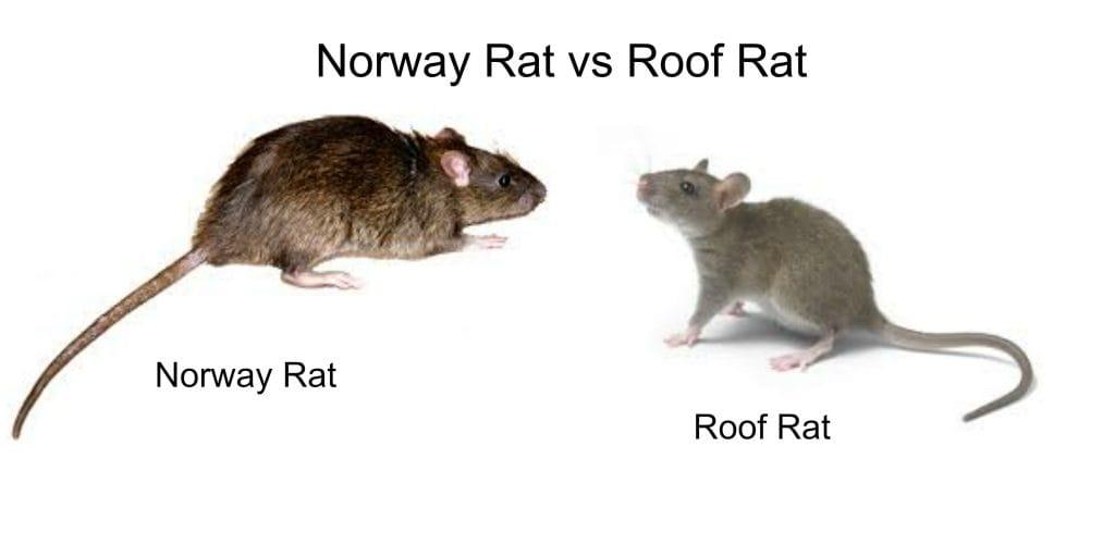 RoofRat vs Norway Rat Control peterborough