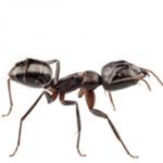 Ant Control Peterborough