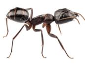 carpenter ants control peterborough