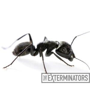 carpenter ant inspection peterborough