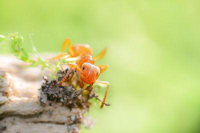 Citronella Ant Control Peterborough