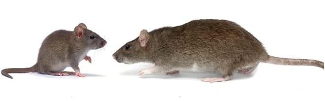 rat infestation peterborough