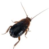 oriental cockroach pest control peterborough