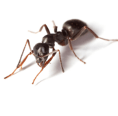 pavement ants control Peterborough