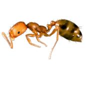 pharaoh ants control peterborough