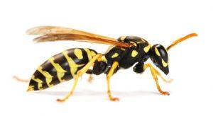 Wasp control Peterborough