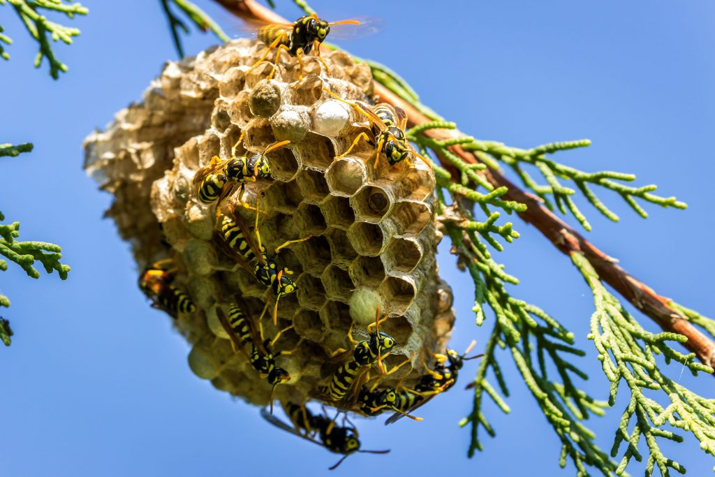 How to Get Rid of Paper Wasp Nest in Tree