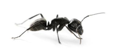 Carpenter ant pest control peterborough