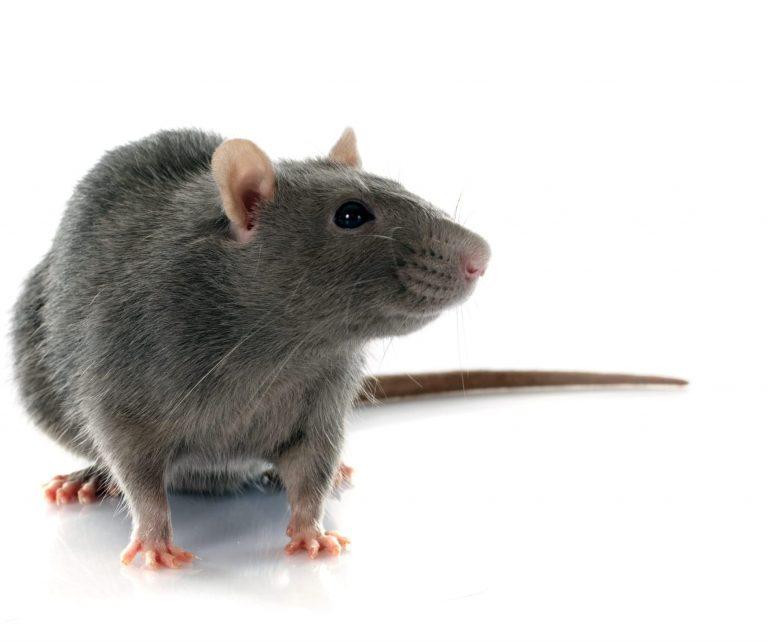 rat exterminator peterborough