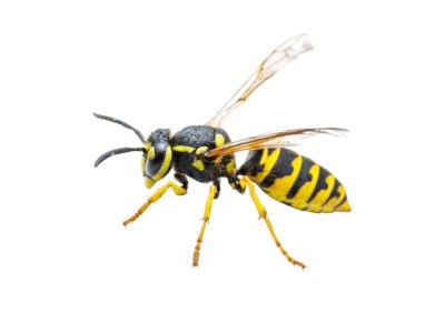 yellow jackets wasps pest removal Peterborough